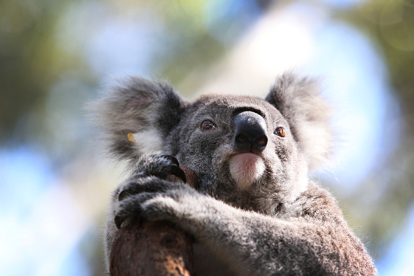 Environmental Damage「NSW Works To Save The Koala As Bushfires, Habitat Loss And Disease Threaten Future Of Australia's Iconic Animal」:写真・画像(1)[壁紙.com]