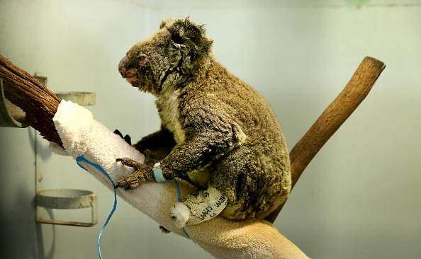 Port Macquarie「Koala Hospital Works To Save Injured Animals Following Bushfires Across Eastern Australia」:写真・画像(18)[壁紙.com]
