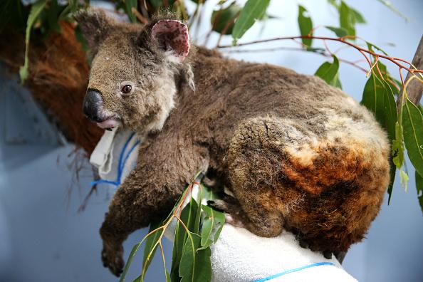 Port Macquarie「Koala Hospital Works To Save Injured Animals Following Bushfires Across Eastern Australia」:写真・画像(16)[壁紙.com]