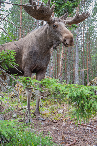 Dalarna「Sweden, Dalarna, Eurasian elk in forest」:スマホ壁紙(14)