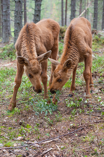 Dalarna「Sweden, Dalarna, juvenile elks in forest」:スマホ壁紙(13)