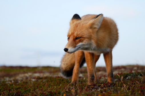 Animals In The Wild「Red fox. Look.」:スマホ壁紙(13)