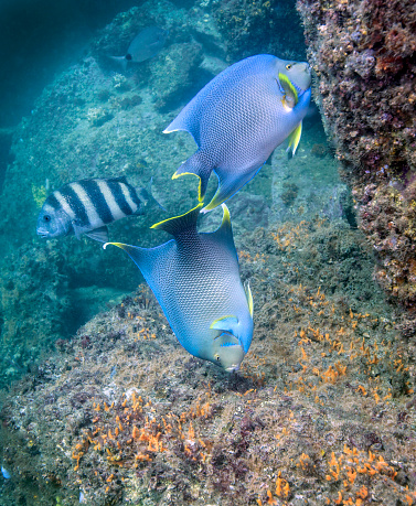 Soft Coral「Blue Angelfish feeding on coral and algae with Sheepshead in background.」:スマホ壁紙(18)