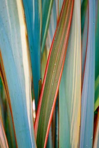 New Zealand Culture「Rain on Harakeke Leaves (New Zealand Flax)」:スマホ壁紙(18)