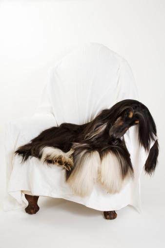 Long Hair「Afghan hound lying on chair」:スマホ壁紙(16)