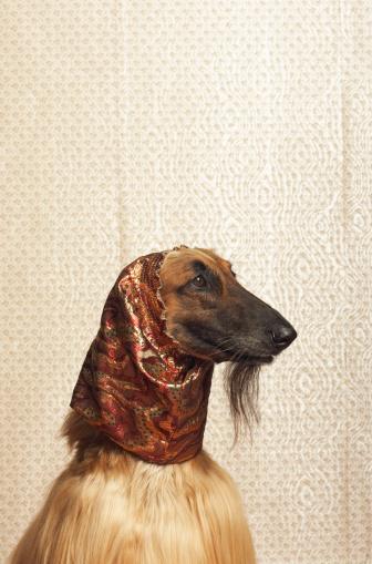 Headscarf「Afghan hound wearing scarf」:スマホ壁紙(15)