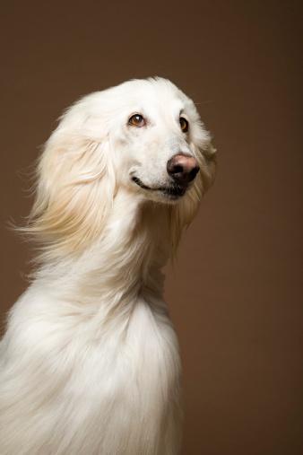 Sensory Perception「Afghan hound」:スマホ壁紙(18)