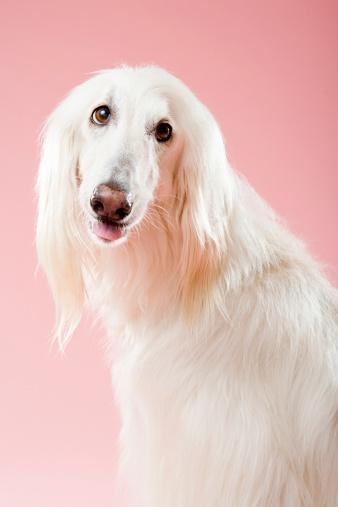 Making A Face「Afghan hound」:スマホ壁紙(15)
