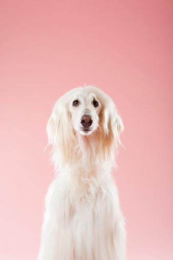 Sensory Perception「Afghan hound」:スマホ壁紙(12)