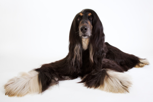Long Hair「Afghan hound lying down in studio」:スマホ壁紙(12)