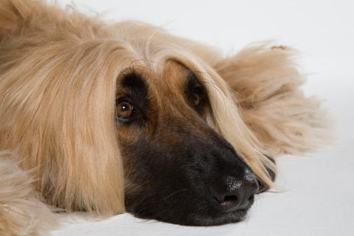 Long Hair「Afghan hound (Canis lupus familiaris)」:スマホ壁紙(7)