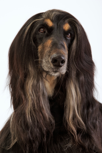 Headshot「Afghan hound, close-up」:スマホ壁紙(6)