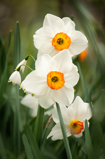 水仙「Flowering Narcissi Audubon Flower Duo, Snowflakes」:スマホ壁紙(3)