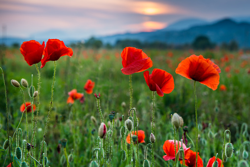 Wide Shot「poppies at sunset」:スマホ壁紙(11)