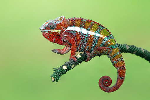 Alertness「Panther chameleon on branch, Indonesia」:スマホ壁紙(17)
