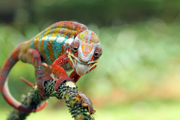 Panther Chameleon on branch, Indonesia:スマホ壁紙(壁紙.com)