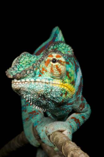 Branch - Plant Part「Panther chameleon (Furcifer pardalis) male on branch」:スマホ壁紙(2)