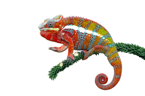 Alertness「Panther Chameleon on a branch」:スマホ壁紙(4)