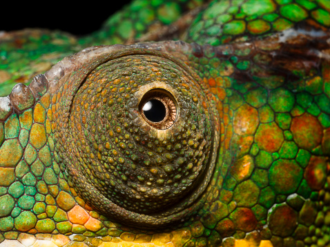 Eyesight「Panther Chameleon's eye, close up」:スマホ壁紙(16)