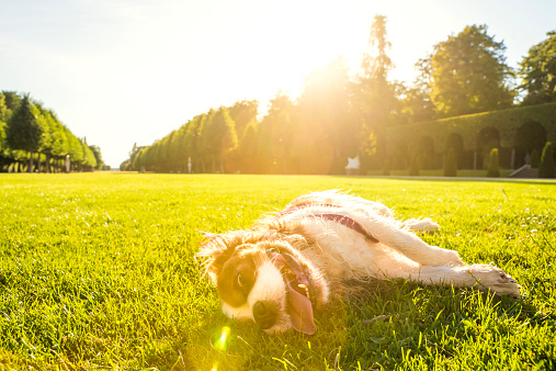 Rolling on Back「Dog, Canis lupus familiaris, lying on a meadow」:スマホ壁紙(12)