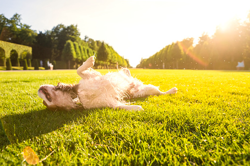 Males「Dog, Canis lupus familiaris, rolling around on a meadow」:スマホ壁紙(19)