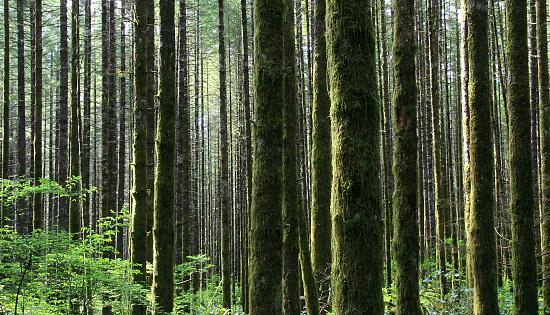 常緑樹「アメリカ北西部の熱帯雨林で、ワシントン州」:スマホ壁紙(13)