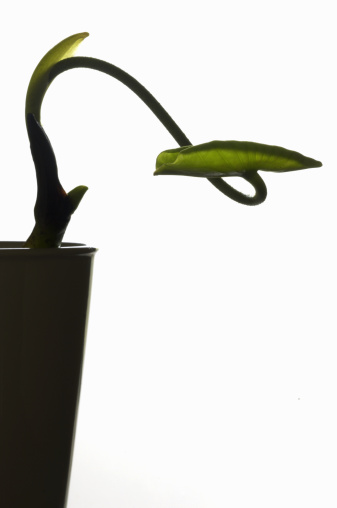 Lotus Water Lily「Lotus (Nelumbo nucifera) seedling」:スマホ壁紙(14)