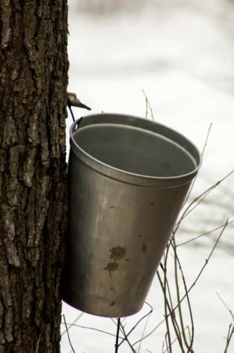 Maple Syrup「Harvesting sap from sugar maple tree」:スマホ壁紙(16)