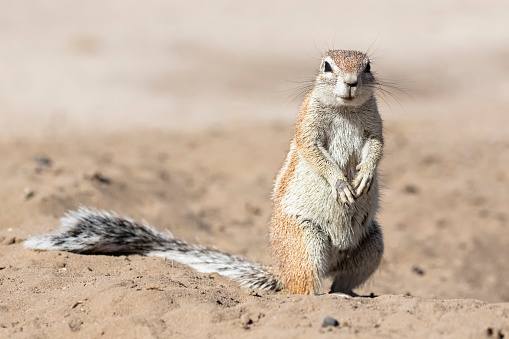 Squirrel「Botswana, Kalahari, Central Kalahari Game Reserve, Unstriped ground squirrel, Xerus rutilus」:スマホ壁紙(15)