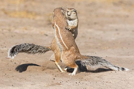 Squirrel「Botswana, Kalahari, Central Kalahari Game Reserve, Unstriped ground squirrels, Xerus rutilus」:スマホ壁紙(19)