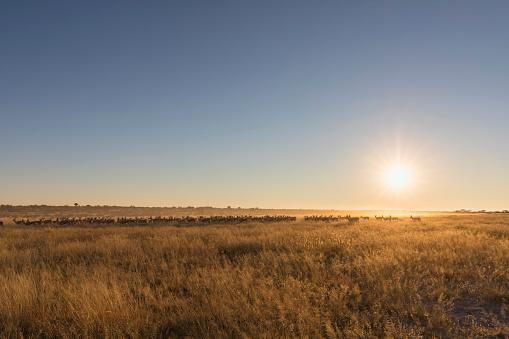 Antelope「Botswana, Kalahari, Central Kalahari Game Reserve,」:スマホ壁紙(3)