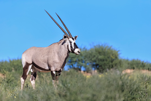 Gemsbok「Botswana, Kalahari, Kgalagadi Transfrontier Park, gemsbok」:スマホ壁紙(6)
