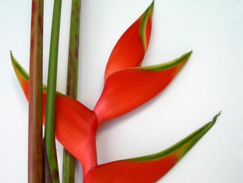 Heliconia「Heliconia」:スマホ壁紙(3)