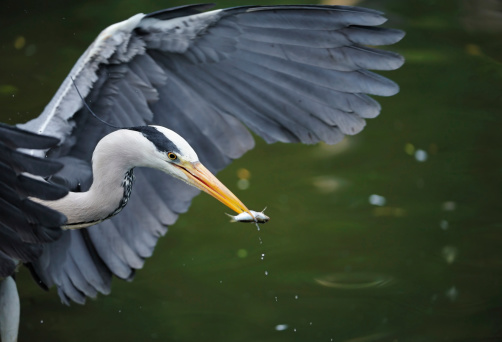 Eating「gray heron with fish」:スマホ壁紙(18)