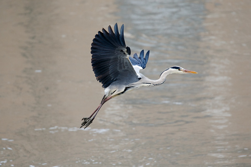 Beak「Gray Heron」:スマホ壁紙(0)