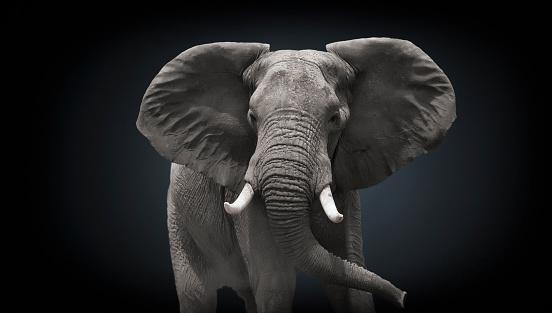 Elephant「Studio photograph of an African Elephant  (Loxodonta africana)」:スマホ壁紙(10)
