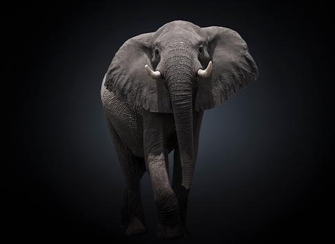 Elephant「Studio photograph of an African elephant (Loxodonta africana)」:スマホ壁紙(4)