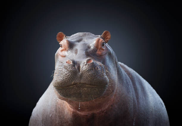 Studio photograph of a hippopotamus (Hippopotamus amphibius):スマホ壁紙(壁紙.com)