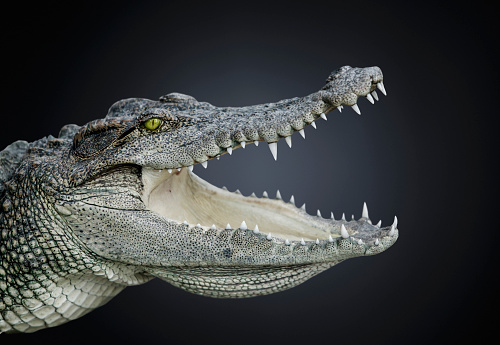 Crocodile「Studio Photograph of a Nile crocodile (Crocodiles niloticus)」:スマホ壁紙(11)