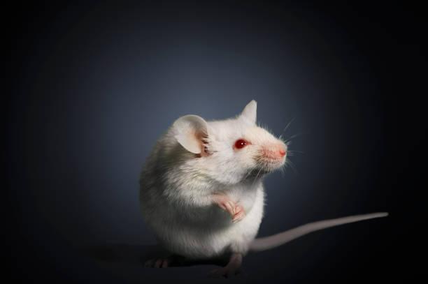 Studio photograph of a white mouse:スマホ壁紙(壁紙.com)