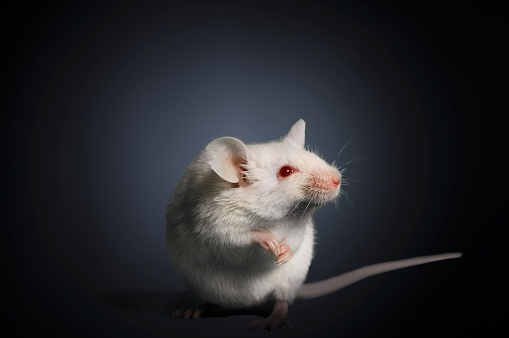 Curiosity「Studio photograph of a white mouse」:スマホ壁紙(9)