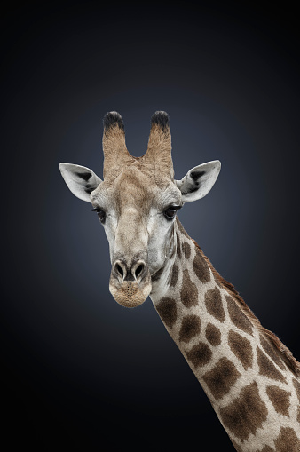 Giraffe「Studio photograph of a northern giraffe (Giraffa camelopardalis)」:スマホ壁紙(19)
