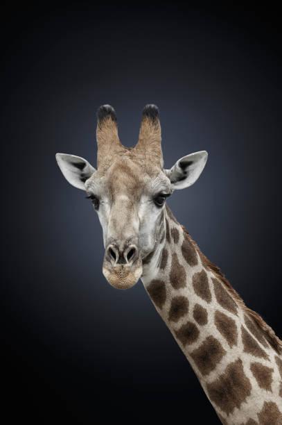 Studio photograph of a northern giraffe (Giraffa camelopardalis):スマホ壁紙(壁紙.com)