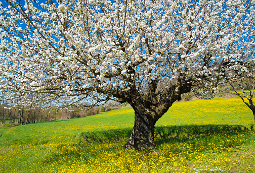 桜「cherry tree with flowers in spring provence France」:スマホ壁紙(13)
