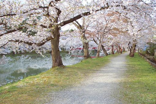 桜「Cherry trees along a river, Hikosaki, Aomori Prefecture, Japan」:スマホ壁紙(19)