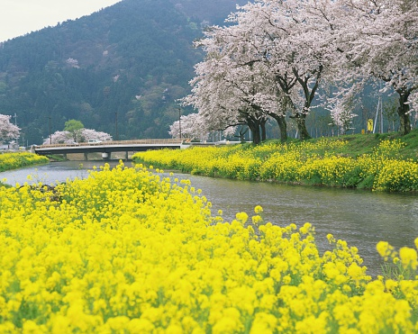 アブラナ「A Cherry Tree and Rapeseed Blossoms, Shiga Prefecture, Japan.」:スマホ壁紙(1)