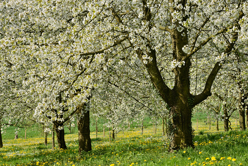 flower「Cherry Trees in meadow, blossom, spring.」:スマホ壁紙(1)