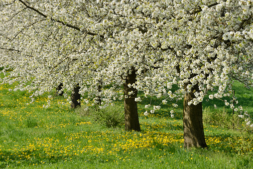 flower「Cherry Trees in meadow, blossom, spring.」:スマホ壁紙(4)