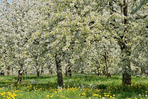 桜「Cherry Trees in meadow, blossom, spring.」:スマホ壁紙(12)