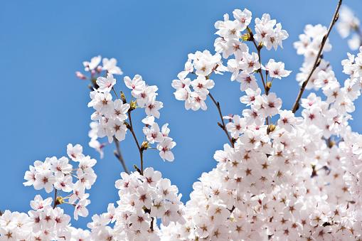 春「桜の木の花」:スマホ壁紙(9)